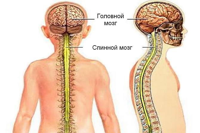 Схема расположения спинного мозга человека