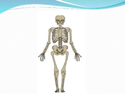 Строение и функции скелета человека