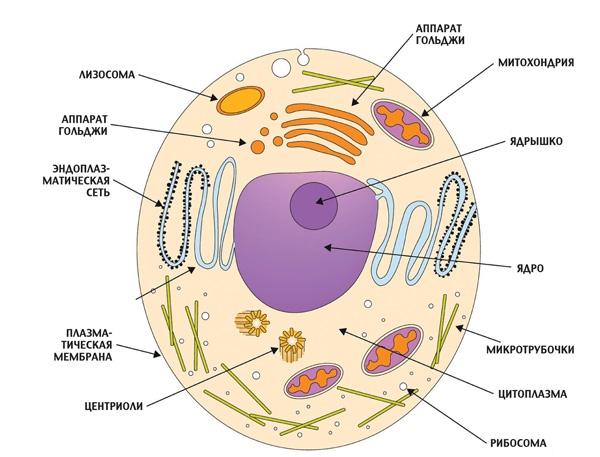 Эукариоты и прокариоты