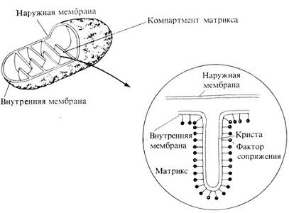 Митохондрия: строение и функции