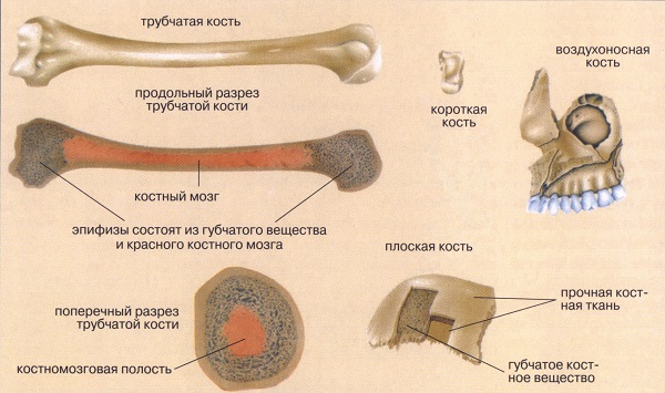 Как строение костной ткани связано с функциями