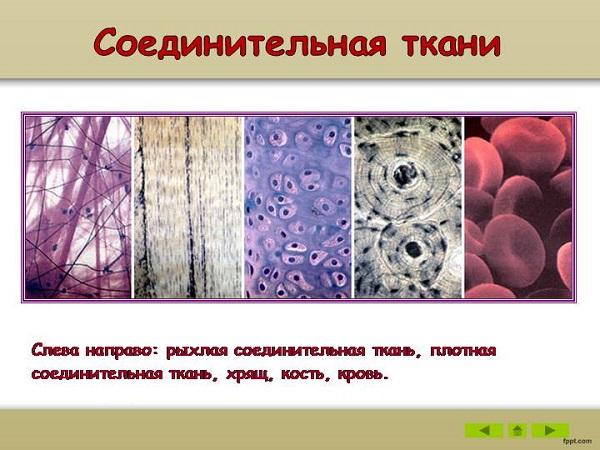 Соединительная ткань