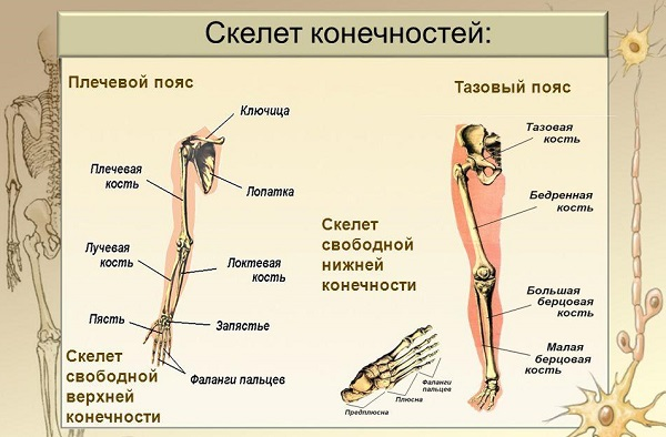 Скелет человека с названием костей