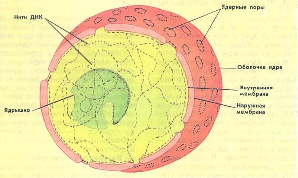 Из чего состоит клетка человека: строение и функции