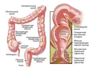 Длина кишечника у взрослого человека